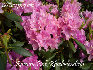 roseum pink rhododendron