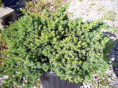 blue-pacific-juniper.jpg