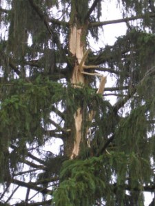 Lightning damage to the trunk of a large Norway Spruce